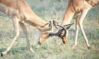 Impala attack! Photo© Dr Rob Knell