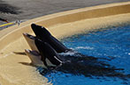 two orka whales in captivity