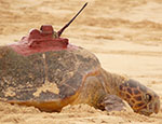 Turtles in Cape Verde