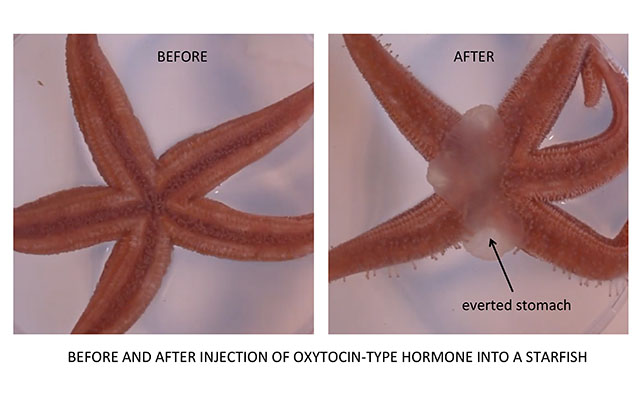 Effect of love hormone on starfish