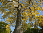 Fraxinus excelsior, common ash at Kew Gardens. Credit Royal Botanic Gardens, Kew.