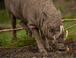 Babirusas are typically found in Wallacea