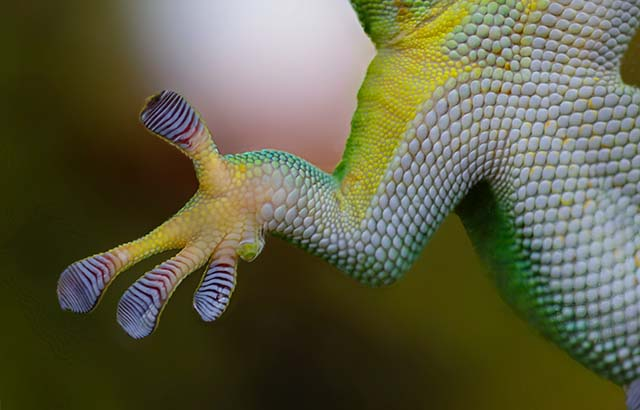 Cells can 'walk' on liquids a bit like the way geckos stick to other surfaces using shear forces