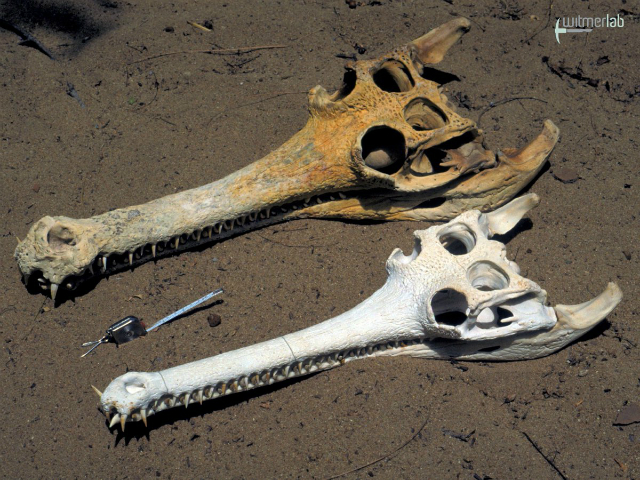 Skulls of a male (top) and female (bottom) gharial (Gavialis gangeticus). Credit: Larry Witmer, Ohio University