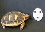 Tortoise hatchling next to face-like stimuli used in the study. Credit:Gionata Stancher