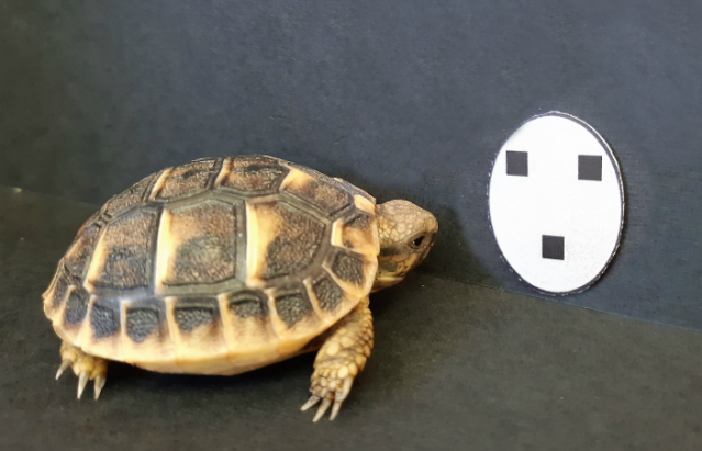 Tortoise hatchling next to face-like stimuli used in the study.Credit:Gionata Stancher