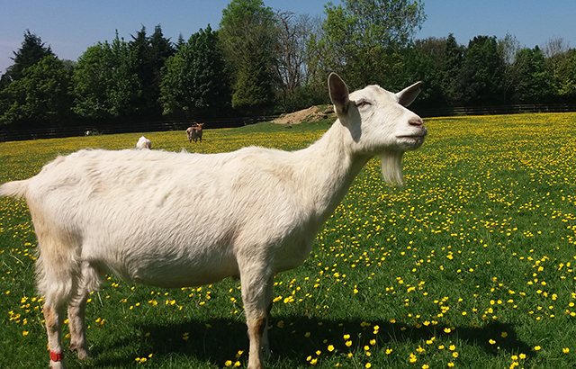 A goat at Buttercups Sanctuary for Goats in Kent, UK. Credit: Christian Nawroth