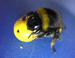 Bee holding a mini-ball (c) Iida Loukola
