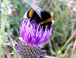Male bumblebee feeding on a thistle flower