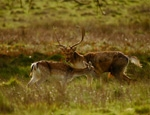 Photo of fallow deer taken by Dina El Tounsy-Garner