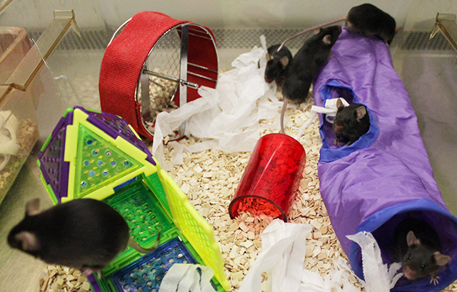 Mice in an 'enriched' environment