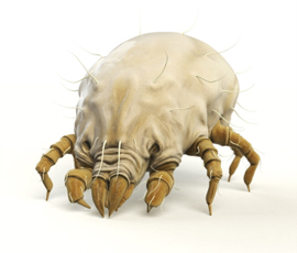 A dust mite