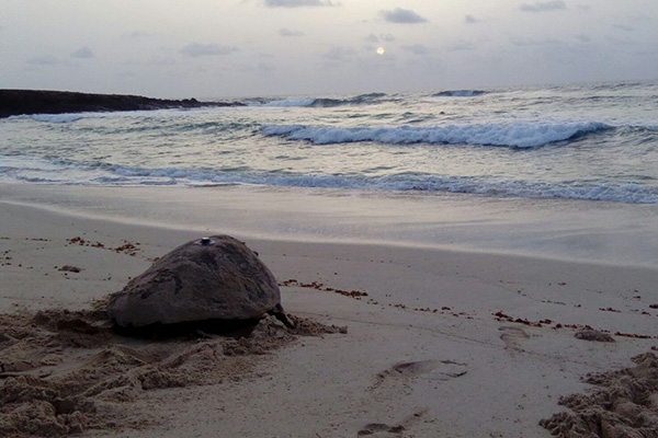 A newly tagged turtle in Cape Verde