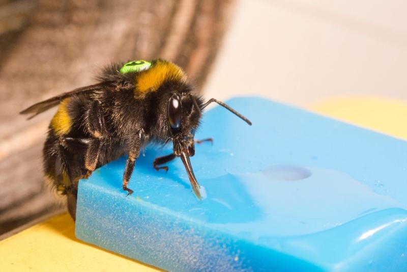 A bumblebee worker (Bombus terrestris) feeding on sucrose solution