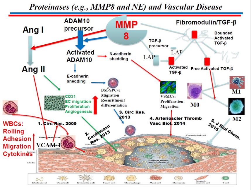 Proteinases (e.g, MMP8 and NE) and Vascular Disease