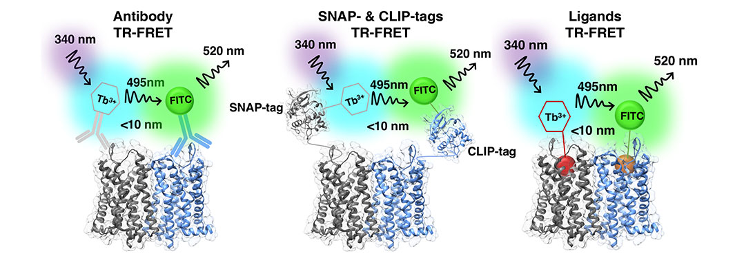 Antibody, SNAP, CLIP, Ligands